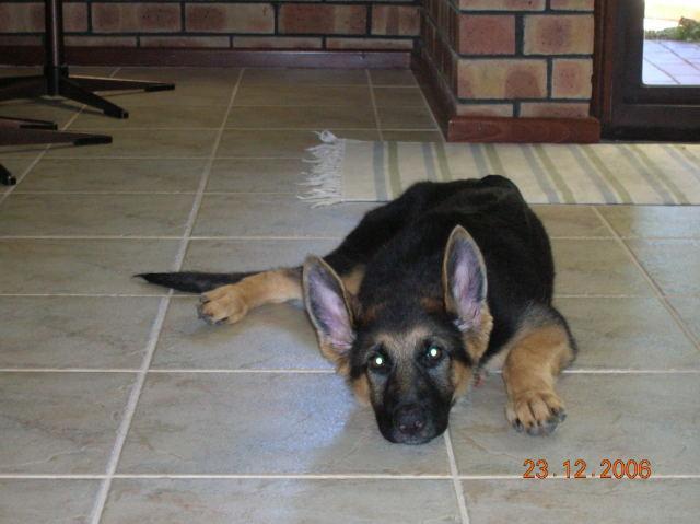 German shep pup